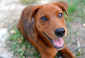 remedios glaucoma en perros