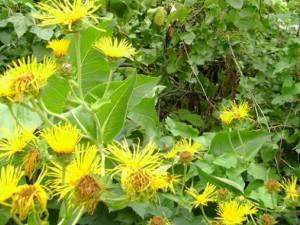 remedios con helenio o enula
