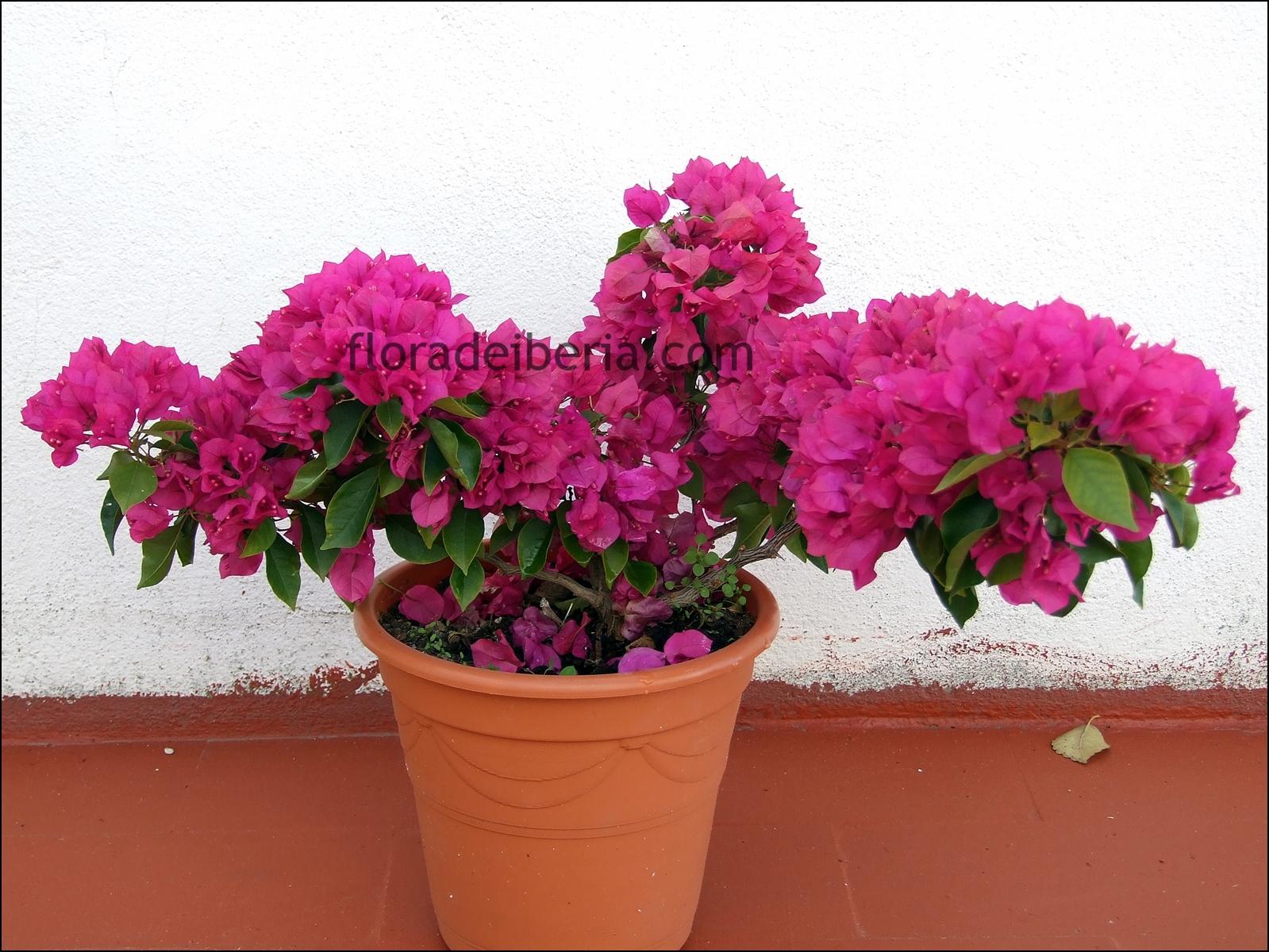 Remedios con trinitaria - Plantas para el jardin todo el ano ...