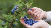 remedios con arándanos