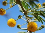 remedios con acacia