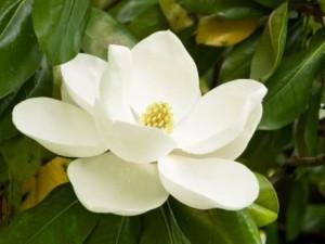 remedios con magnolia