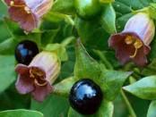 remedios con belladona