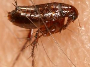 remedios para eliminar las pulga