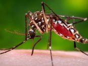 remedios para el chikungunya