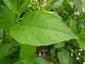 remedios con hojas de tabaco