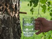 agua de abedul para adelgazar