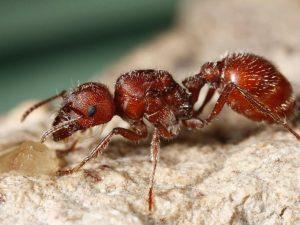 remedios hormiga roja