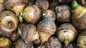 propiedades raíz de taro