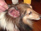 infección de oídos en perros