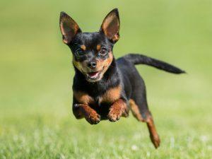 remedios para perros hiperactivos