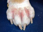 remedios candidiasis en perros