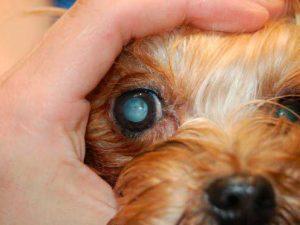 remedios cataratas en perro