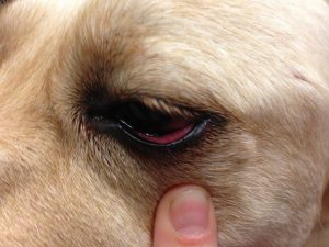 remedios conjuntivitis perros