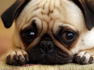 remedios fiebre en perros