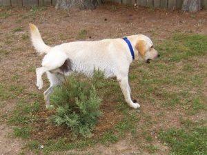 remedios infección de orina en perros