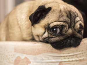 remedios perro gripe