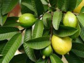 beneficios hojas de guayaba