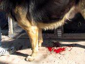 remedios hemorragia em perros