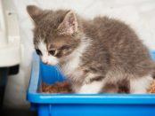 remedios cistitis en gatos