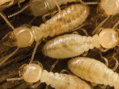 remedio contra las termitas