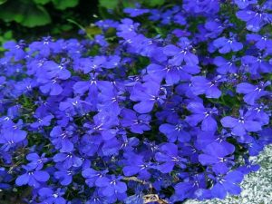 lobelia beneficios y contraindicaciones