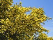 contraindicaciones de la acacia