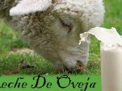 Leche de oveja propiedades y contraindicaciones
