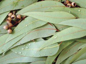 eucalipto beneficios y contraindicaicones