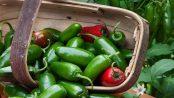 chile jalapeño beneficios y propiedades