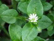 beneficios de la planta pamplina