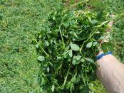 alfalfa propiedades y contraindicaciones